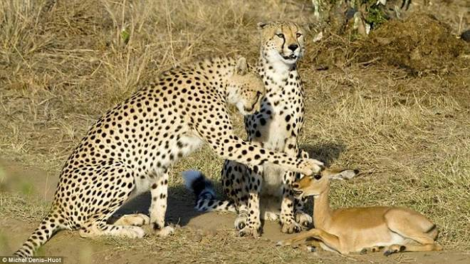 Cheetah and Impala