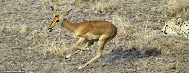 Τα τσιτάχ και το impala